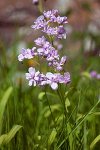 Lady's smock (Cardamine pratensis), Sark, British Channel Islands, April.  -  Sue Daly