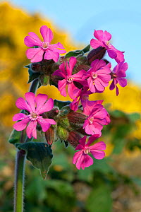Red campion (Silene dioica), Sark, British Channel Islands, April.  -  Sue Daly