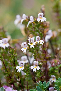 Eyebright (Euphrasia sp) Jersey, British Channel Islands, August.  -  Sue Daly
