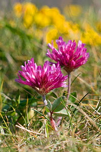 Red clover (Trifolium pratense) Alderney, British Channel Islands, May.  -  Sue Daly