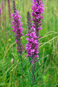Purple loosestrife (Lythrum salicaria), Jersey, British Channel Islands, August.  -  Sue Daly