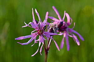 Ragged robin (Lychnis flos-cuculi),  Jersey, British Channel Islands, May.  -  Sue Daly