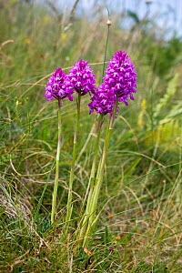 Pyramidal orchids (Anacamptis pyramidalis), Jersey, British Channel Islands, June.  -  Sue Daly