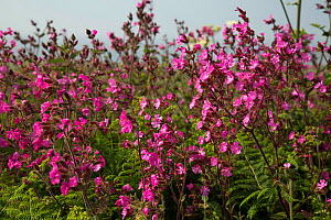 Red campion (Silene dioica) flowers, Herm, British Channel Islands, June.  -  Sue Daly