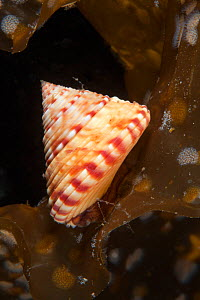 Painted top shell (Calliostoma zizyphinum) Trondheimsfjord, Norway, July.  -  Sue Daly