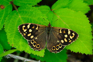 Speckled wood butterfly (Pararge aegeria) at rest, wings open. Dorset, UK June.  -  Colin Varndell