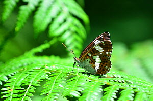 White admiral butterfly (Limenitis camilla) wings closed, at rest. Dorset, UK July.  -  Colin Varndell
