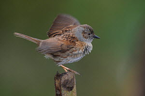 Dunnock (Prunella modularis) 'wing flicking' in spring. Dorset, UK March.  -  Colin Varndell
