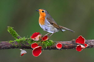 Robin (Erithacus rubecula) on branch with Scarlet elfcup fungus (Sarcoscypha coccinea) spring. Dorset, UK, March. - Colin Varndell