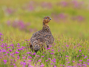 Red grouse  (Lagopus lagopus scotica) North York Moors National Park, Yorkshire, England, UK, June.  -  Gary  K. Smith