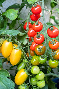 Tomatoes (Solanum lycopersicum)  'Suncherry Smile', and 'Blush Tiger'.  -  Gary  K. Smith