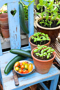 Cucumbers, 'Louisa' F1, Tomatoes (Solanum lycopersicum) including 'Suncherry Smile',  'Green Tiger', 'Blush Tiger',  'Pink Tiger' and pots of sweet basil.  -  Gary  K. Smith