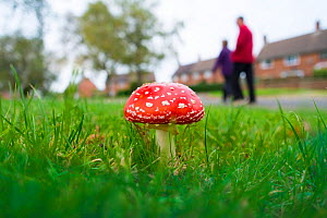 Fly agaric (Amanita muscaria) growing in housing estate, Norfolk, England, October.  -  Gary  K. Smith