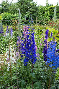 Garden Delphiniums 'Pacific Hybrids' supported by canes. England, UK, June.  -  Gary  K. Smith