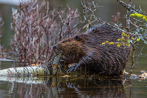 North American beaver (Castor canadensis) eating a fallen Paper Birch tree (Betula papyrifera). Acadia National Park, Maine, USA.  -  George  Sanker