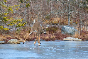 White-tailed Deer (Odocoileus virginianus) crossing frozen pond. Acadia National Park, Maine, USA. - George  Sanker