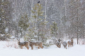 White-tailed Deer (Odocoileus virginianus) and American Crow (Corvus brachyrhynchosin) in a snowstorm, at the edge of a snow-covered pond. Acadia National Park, Maine, USA. - George  Sanker