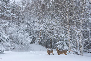 White-tailed Deer (Odocoileus virginianus) mother and fawn at the edge of a snow-covered pond. Acadia National Park, Maine, USA. - George  Sanker