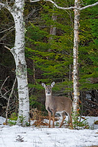 White-tailed deer (Odocoileus virginianus)  at the edge of a snow-covered pond. Acadia National Park, Maine, USA. - George  Sanker