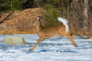 White-tailed Deer (Odocoileus virginianus) running across a snow-covered pond. Acadia National Park, Maine, USA. - George  Sanker