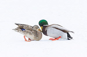 Mallard (Anas platyrhynchos)pair  greeting on snow-covered pond. Acadia National Park, Maine, USA. - George  Sanker