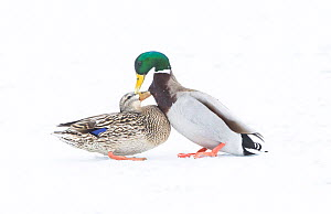 Mallard (Anas platyrhynchos) pair greeting on snow-covered pond. Acadia National Park, Maine, USA. - George  Sanker
