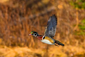 Wood Duck (Aix sponsa). Male in breeding plumage flying at sunset. Acadia National Park, Maine, USA. - George  Sanker