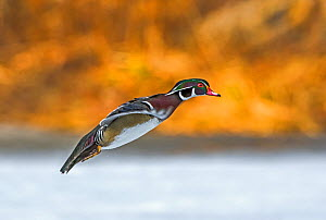 Wood Duck (Aix sponsa) male in breeding plumage landing at sunset on a snow-covered pond in early April. Acadia National Park, Maine, USA. - George  Sanker