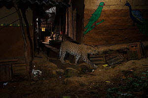 Leopard (Panthera pardus fusca) walking in alley between houses. Aarey Milk Colony in unofficial buffer zone of Sanjay Gandhi National Park, Mumbai, India. April 2016.  -  Nayan Khanolkar