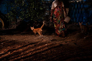 Domestic cats and woman walking in alley between houses. Aarey Milk Colony, unofficial buffer zone of Sanjay Gandhi National Park, Mumbai, India. January 2016.  -  Nayan Khanolkar
