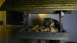 Female Pine marten (Martes martes) feeding from a bird table outside a bed and breakfast at night, Knapdale, Argyll, Scotland, UK, October.  -  Nick Upton