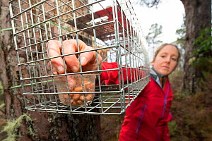 Becky Priestley, Wildlife Officer with Trees for Life, preparing cage trap to catch Red squirrels (Sciurus vulgaris) as part of reintroduction to the north west Highlands, Moray, Scotland, UK.  Winner... - Peter Cairns