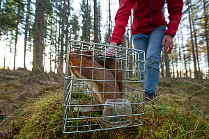 Becky Priestley, Wildlife Officer with Trees for Life, with Red squirrel (Sciurus vulgaris) caught in cage trap as part of reintroduction to the north west Highlands, Moray, Scotland, UK. Winner of th... - Peter Cairns