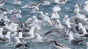 Slow motion close-up of a large group of Fulmars (Fulmarus glacialis) feeding from a fish processing plant outfall, Grundafjordur, Iceland, March.  -  Terry  Whittaker