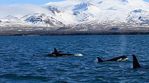 Pod of Killer whales (Orcinus orca) at surface, Grundarfjordur, Iceland, March.  -  Terry  Whittaker