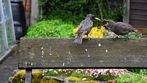 Common starling (Sturnus vulgaris) feeding chick perched on a bench, Greater Manchester, England, UK, May. - Terry  Whittaker