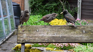 Common starling (Sturnus vulgaris) feeding chicks perched on a bench, Greater Manchester, England, UK, May. - Terry  Whittaker