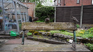 Wide-angle shot of a Common starling (Sturnus vulgaris) feeding chicks perched on a bench, Greater Manchester, England, UK, May.  -  Terry  Whittaker