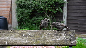 Common starling (Sturnus vulgaris) feeding chick perched on a bench, another arrives and begs for food, Greater Manchester, England, UK, May. - Terry  Whittaker
