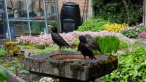 Common starling (Sturnus vulgaris) feeding juvenile perched on a bird bath, with others nearby, Greater Manchester, England, UK, May.  -  Terry  Whittaker