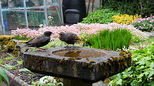 Common starling (Sturnus vulgaris) feeding juvenile perched on a bird bath, Greater Manchester, England, UK, May.  -  Terry  Whittaker