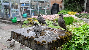Group of Common starlings (Sturnus vulgaris) drinking from and bathing in a bird bath, Greater Manchester, England, UK, May.  -  Terry  Whittaker