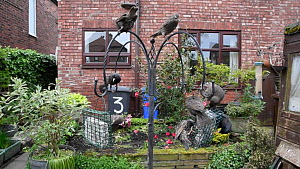 Group of Common starlings (Sturnus vulgaris) feeding from a bird feeder, Greater Manchester, England, UK, May.  -  Terry  Whittaker
