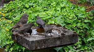 Group of Common starlings (Sturnus vulgaris) bathing in and drinking from a bird bath, Greater Manchester, England, UK, May.  -  Terry  Whittaker