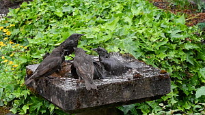 Slow motion clip of a group of Common starlings (Sturnus vulgaris) bathing in a bird bath, Greater Manchester, England, UK, May.  -  Terry  Whittaker