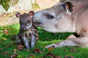 Brazilian tapir (Tapirus terrestris) mother with baby age 2 weeks, captive, Beauval Zoo, France - Eric Baccega