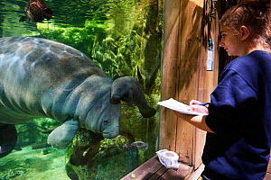 Veterinarian observing Caribbean manatee or West Indian manatee mother with newborn baby  (Trichechus manatus), age two days,, captive, Beauval Zoo, France - Eric Baccega
