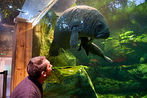 Keeper observing Caribbean manatee or West Indian manatee (Trichechus manatus) mother with newborn baby, age two days,,  captive, Beauval Zoo, France - Eric Baccega