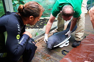 Veterinarian and keeper weighing newborn Caribbean manatee or West Indian manatee (Trichechus manatus) with a special scale. The baby is age two days, and weighing 15 kg, captive, Beauval Zoo, France. - Eric Baccega