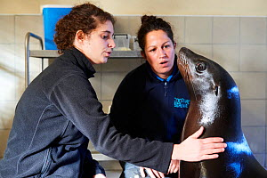 Veterinarian and keeper training with California sea lion (Zalophus californianus), captive, Beauval Zoo, France - Eric Baccega